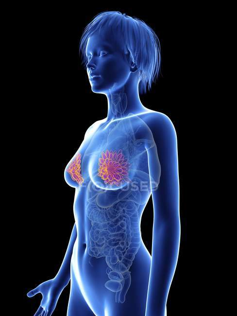Illustration de la silhouette féminine avec surbrillance des glandes mammaires . — Photo de stock
