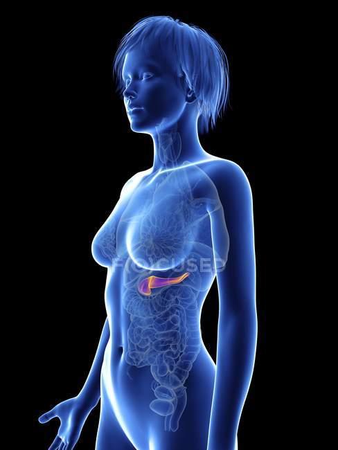 Ilustración de la silueta femenina con páncreas . - foto de stock