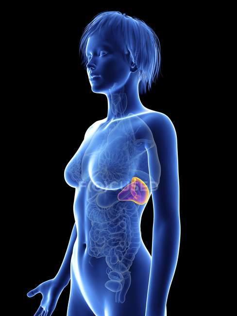 Illustration of female silhouette with spleen. — Stock Photo