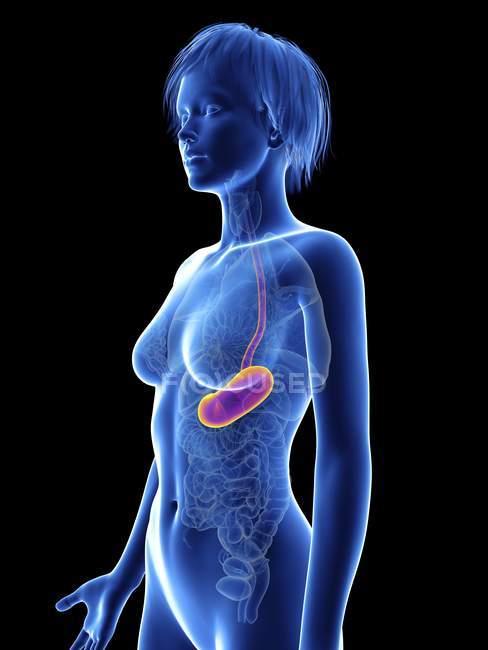 Illustration de la silhouette féminine avec estomac . — Photo de stock