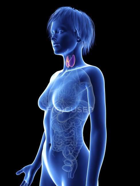 Illustration de la silhouette féminine avec thyroïde . — Photo de stock