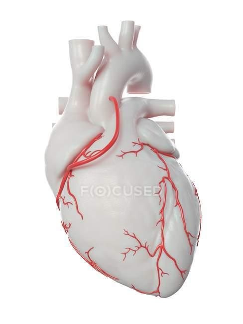 Ilustración del bypass en el corazón humano . - foto de stock