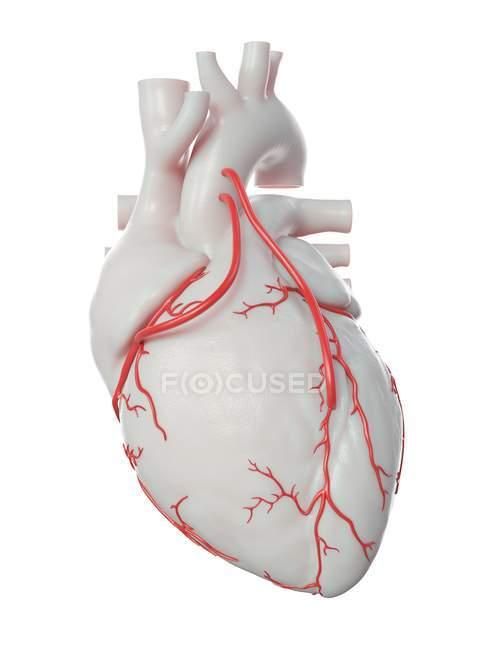 Ilustración de dos bypass en el corazón humano . - foto de stock