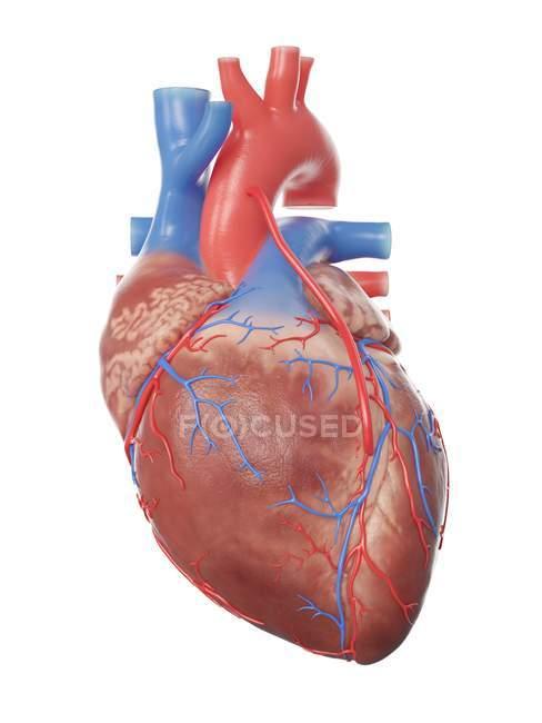 Ilustración del corazón humano realista con bypass . - foto de stock