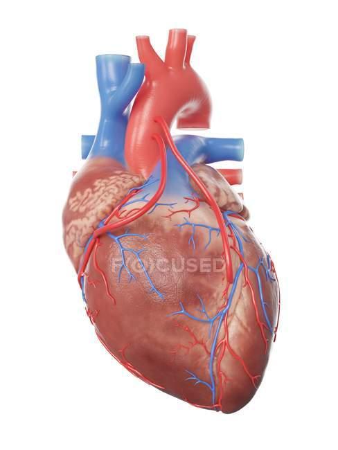 Ilustración del corazón humano realista con 2 bypass . - foto de stock