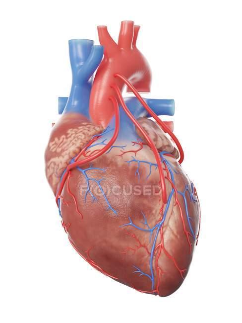 Ilustración del corazón humano realista con 3 bypass . - foto de stock