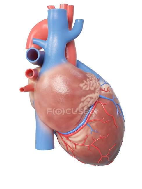 Ilustración de la anatomía del corazón humano sobre fondo blanco . - foto de stock
