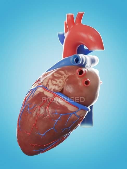 Ilustración de la anatomía del corazón humano sobre fondo azul . - foto de stock