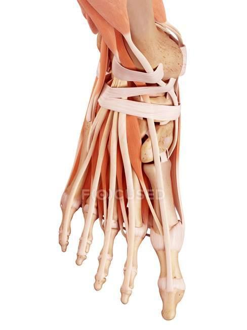 Ілюстрація анатомії людини ногу на білому тлі. — стокове фото