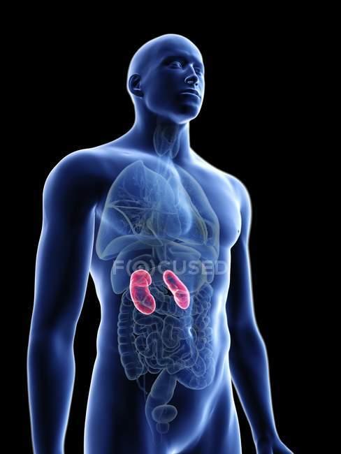 Ilustración de silueta azul transparente del cuerpo masculino con colores riñones. - foto de stock