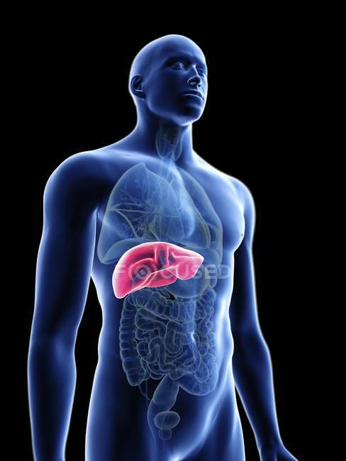 Illustration of transparent blue silhouette of male body with colored liver. — Stock Photo