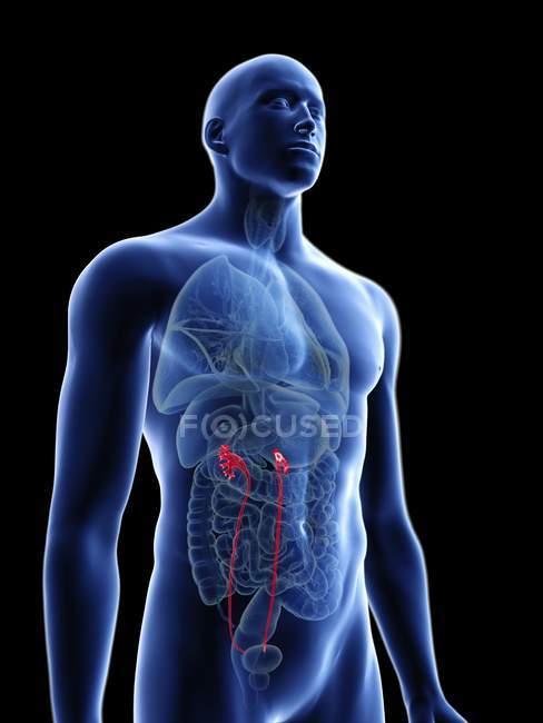 Ilustración de silueta azul transparente del cuerpo masculino con uréteres de colores . - foto de stock