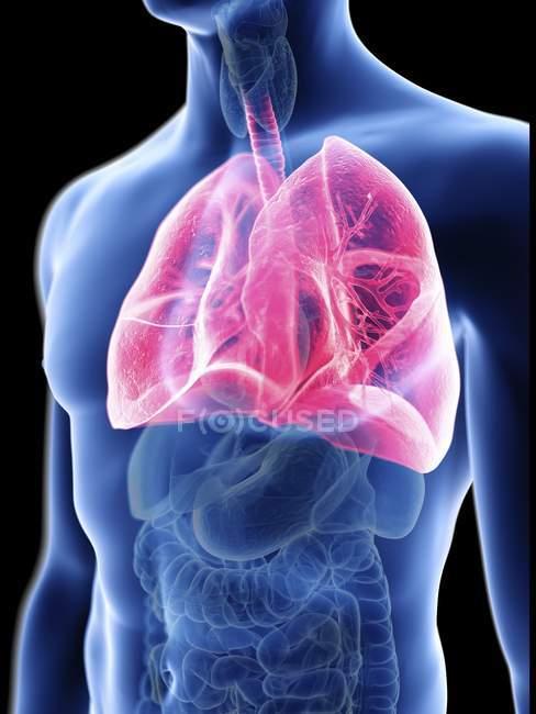 Illustrazione della silhouette blu trasparente del corpo maschile con polmoni colorati . — Foto stock