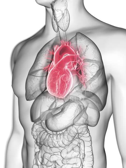 Illustrazione della silhouette grigia trasparente del corpo maschile con cuore colorato . — Foto stock