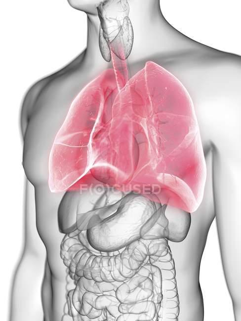 Ілюстрація прозорі сірий силует чоловічого тіла з кольоровими легені. — стокове фото