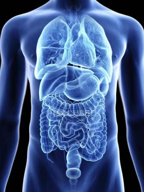 Ilustración de sección media de órganos internos en silueta corporal masculina . - foto de stock