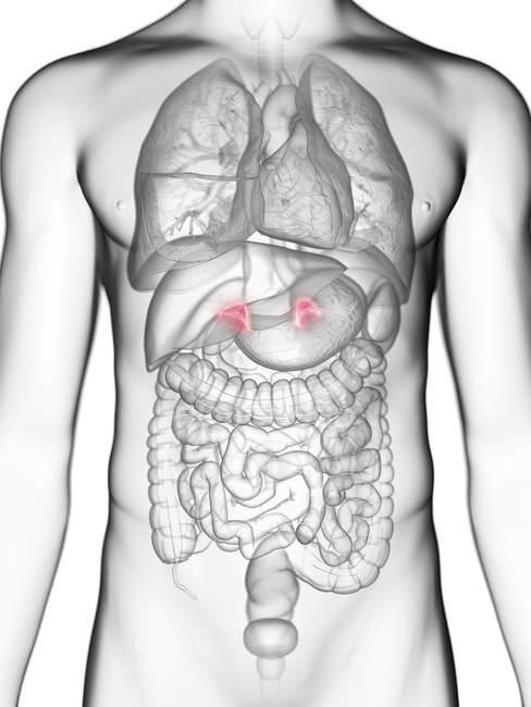 Ilustración de sección media de glándulas suprarrenales en silueta corporal masculina . - foto de stock