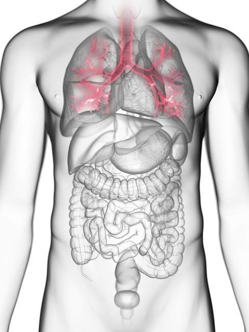 Ilustração dos brônquios na silhueta corporal masculina . — Fotografia de Stock