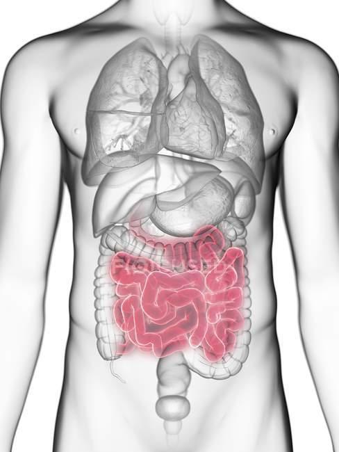 Ilustración de sección media del intestino delgado en silueta corporal masculina . - foto de stock