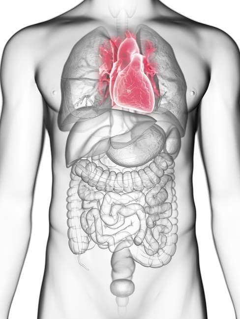 Ilustración de sección media del corazón en silueta corporal masculina . - foto de stock