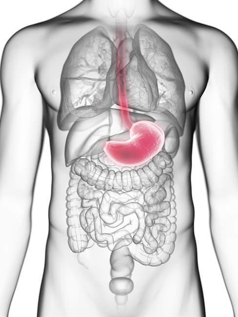 Illustrazione a metà sezione dello stomaco nella silhouette del corpo maschile . — Foto stock