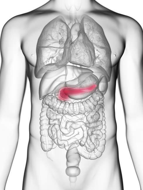 Ilustración de sección media del páncreas en silueta corporal masculina . - foto de stock