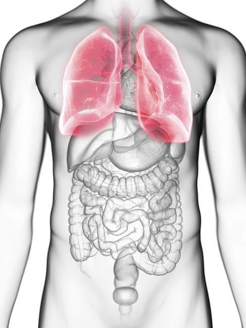 Середині розділі ілюстрація легенів у чоловіче тіло силует. — стокове фото