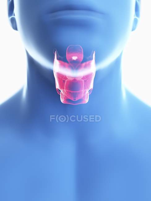 Illustration of larynx in male body silhouette, close-up. — Stock Photo