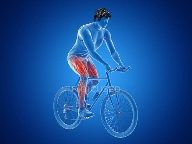 3d rendered illustration showing cyclist active muscles on blue background. — Stock Photo