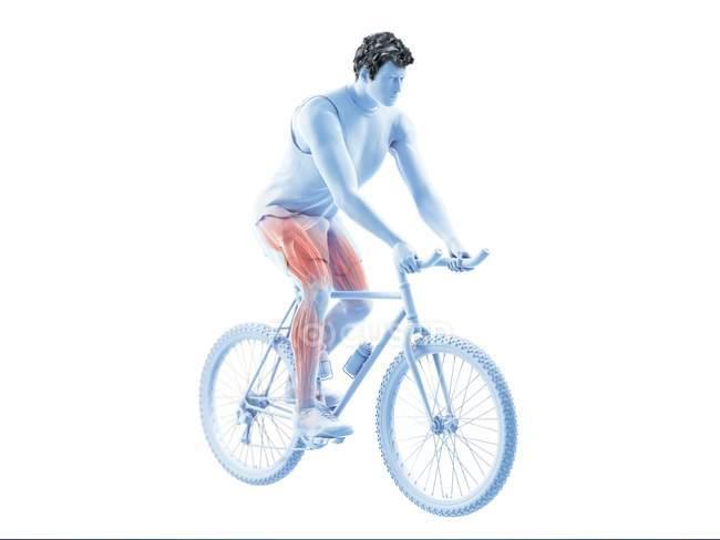 3D надані ілюстрація показ велосипедист активних м'язів на білому тлі. — стокове фото