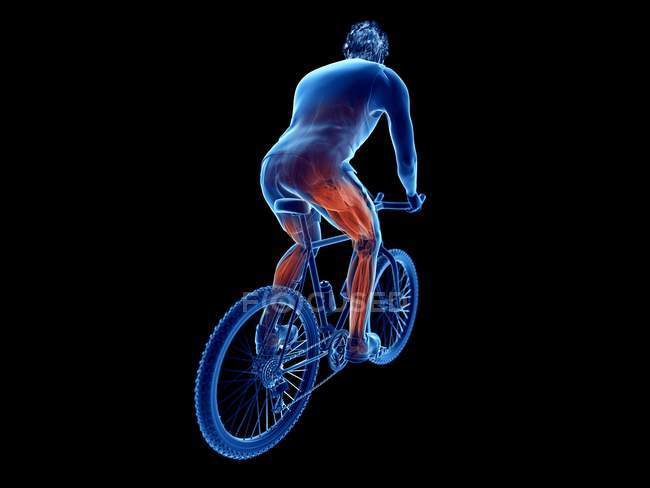 3d rendered illustration showing cyclist active muscles on black background. — Stock Photo
