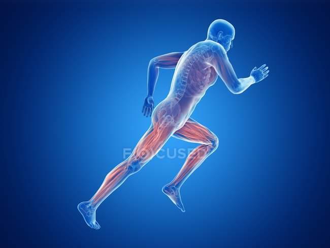 3d renderizado ilustración de los músculos activos jogger sobre fondo azul . - foto de stock