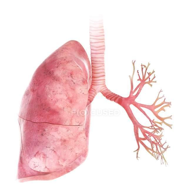 Illustration en 3D des poumons et bronches sur fond blanc . — Photo de stock