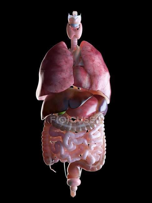 3d hecho ilustración de órganos humanos . - foto de stock