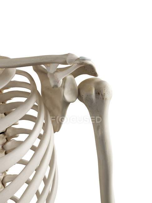 3d ilustración de hombro dislocado en esqueleto humano . - foto de stock