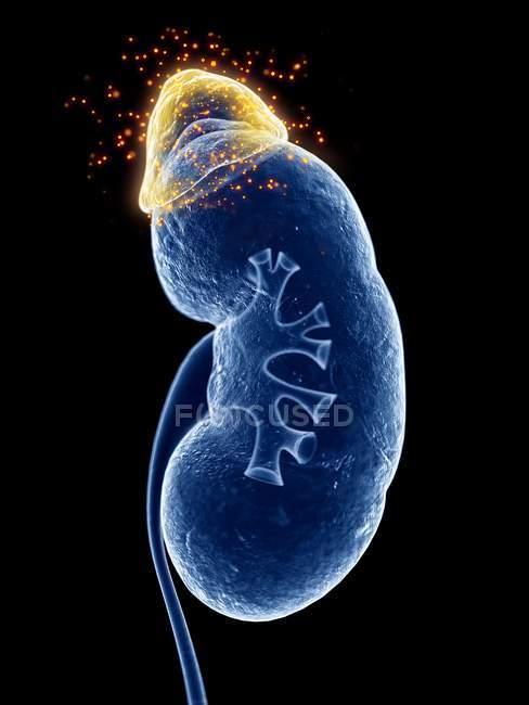 3d renderizado ilustración de la glándula suprarrenal producir hormonas . - foto de stock