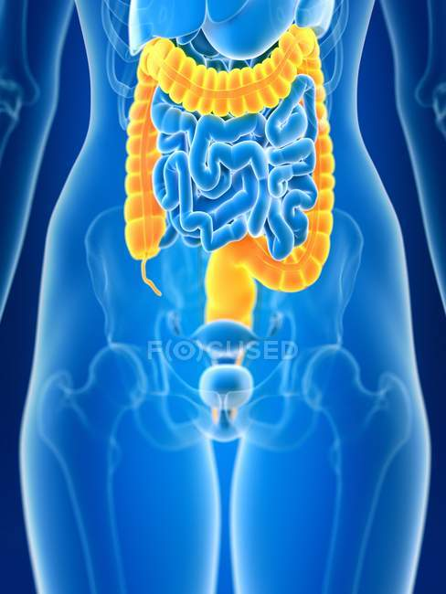 3d rendered illustration of colored female colon in body silhouette. — Stock Photo