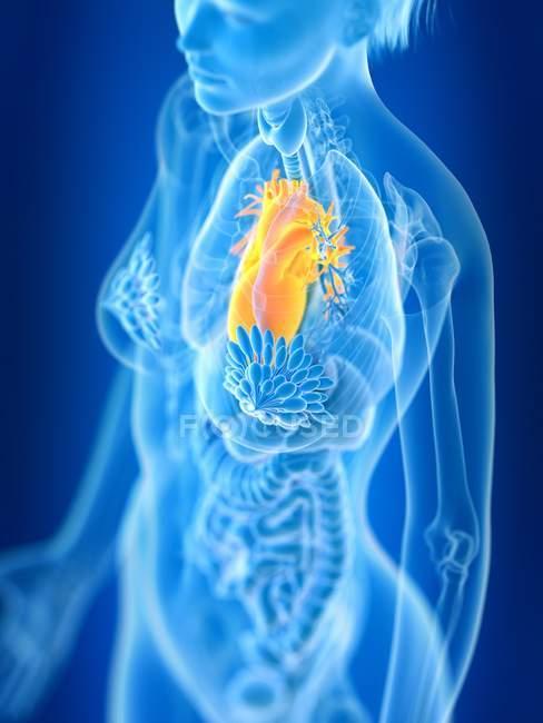 3D-рендеринг иллюстрации цветного женского сердца в силуэте тела . — стоковое фото