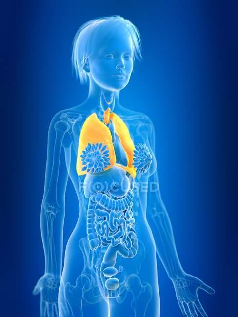 3D надані ілюстрація кольорові жінки легенів у організму силует. — стокове фото