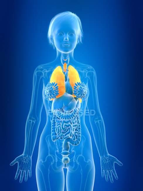 Illustrazione resa 3d di polmoni femminili colorati nella silhouette del corpo . — Foto stock
