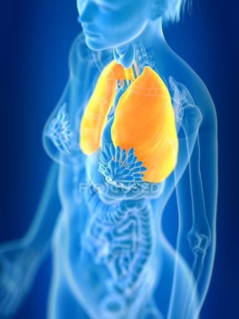 3d ilustração renderizada de pulmões femininos coloridos em silhueta corporal . — Fotografia de Stock