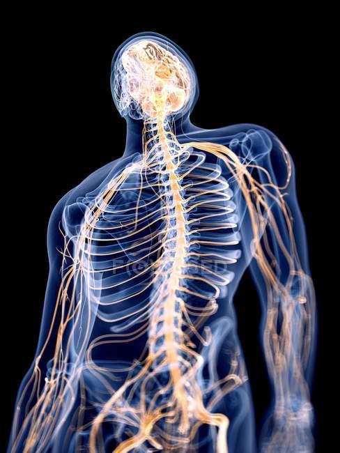 3d hecho ilustración del sistema nervioso humano . - foto de stock