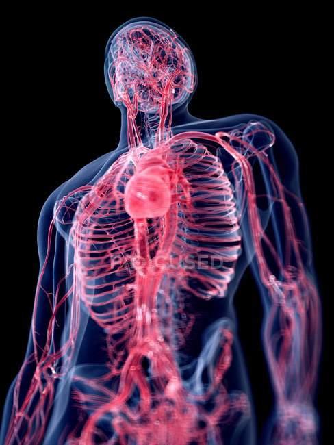 3D надані ілюстрації судинної системи людини. — стокове фото