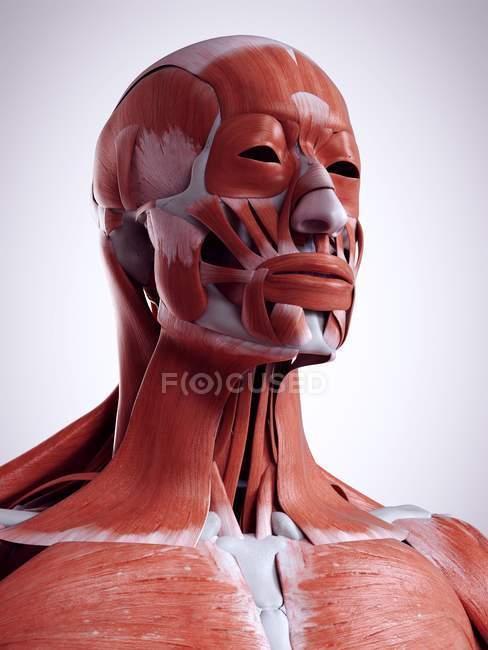 3D illustration rendue de la tête et du cou des muscles dans le corps humain. — Photo de stock