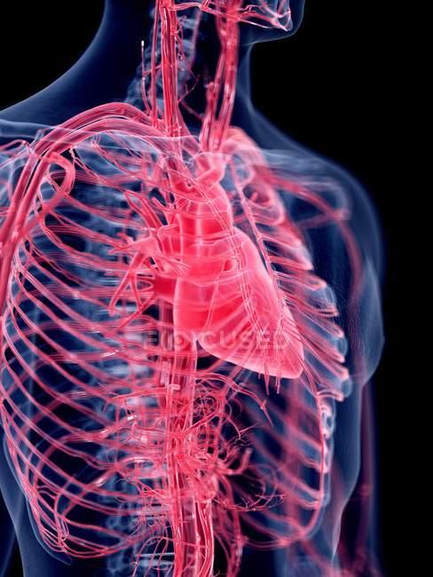 3d hecho ilustración del corazón humano . - foto de stock
