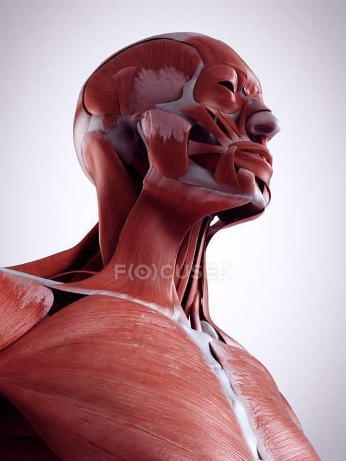 Трехмерная иллюстрация мышц шеи в человеческом теле . — стоковое фото