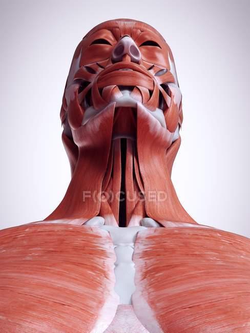 Illustration 3D des muscles du cou dans le corps humain . — Photo de stock
