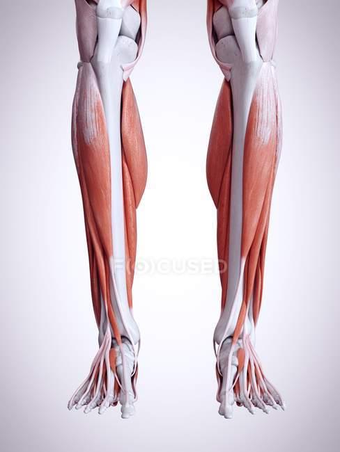3d ilustración de los músculos de las piernas inferiores en el cuerpo humano . - foto de stock