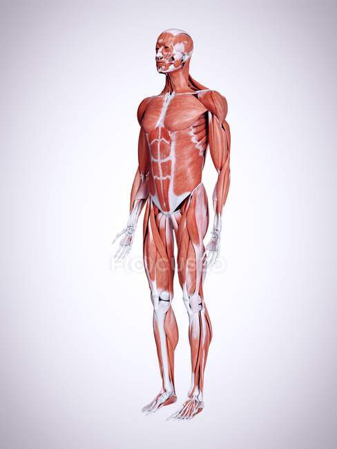 3D надані ілюстрація м'язи в організмі людини, чоловіки. — стокове фото