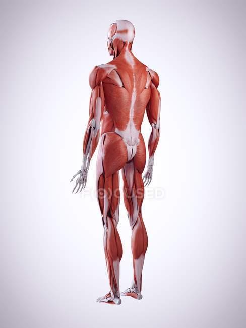 3d ilustración de los músculos de la espalda en el cuerpo humano . - foto de stock